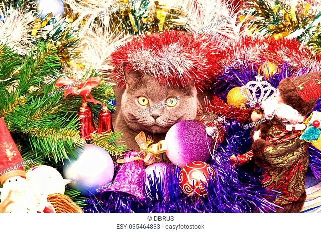 The British cat lies in a tinsel with Christmas toys