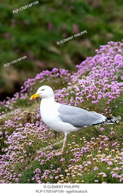 European herring gull (Larus argentatus) among sea thrift / sea pink flowers on clifftop in spring, Scotland, UK