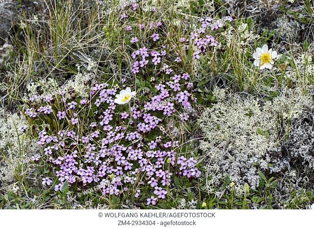 Moss Campion (Silene acaulis) and Mountain avens (Dryas octopetala) at Hofdi at Lake Myvatn in Northeast Iceland