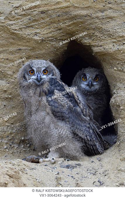 Eurasian Eagle Owls / Europaeische Uhus ( Bubo bubo ), two chicks, standing together in the entrance of their nesting site, wildlife, Europe