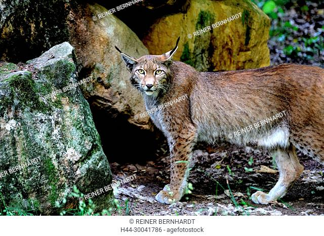 hunter, endemic animal species, Eurasian lynx, European lynx, protected animal species, to great cat, cat, cats, lynx, lynx in the spring, lynxes, Lynx