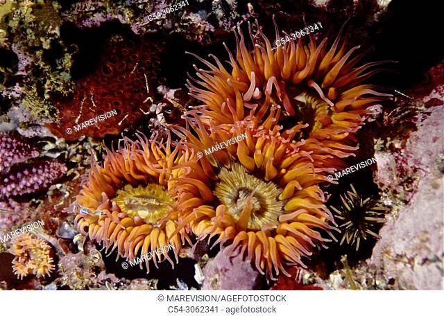 Sea Anemone (Sagartia elegans). Eastern Atlantic. Galicia. Spain. Europe