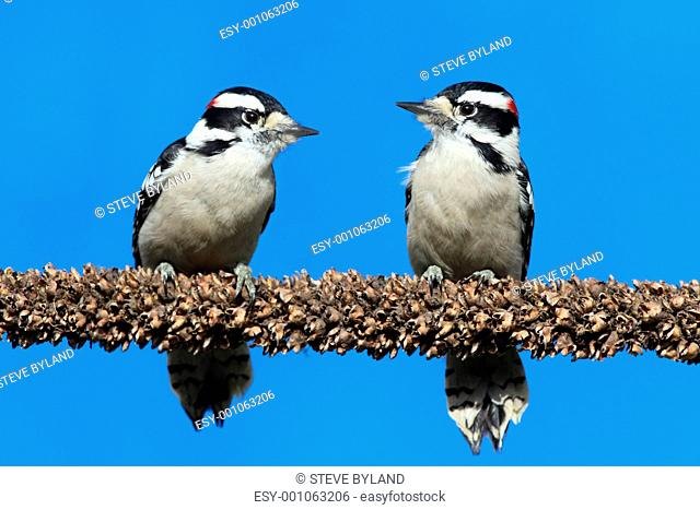 Downy Woodpeckers Picoides pubescens