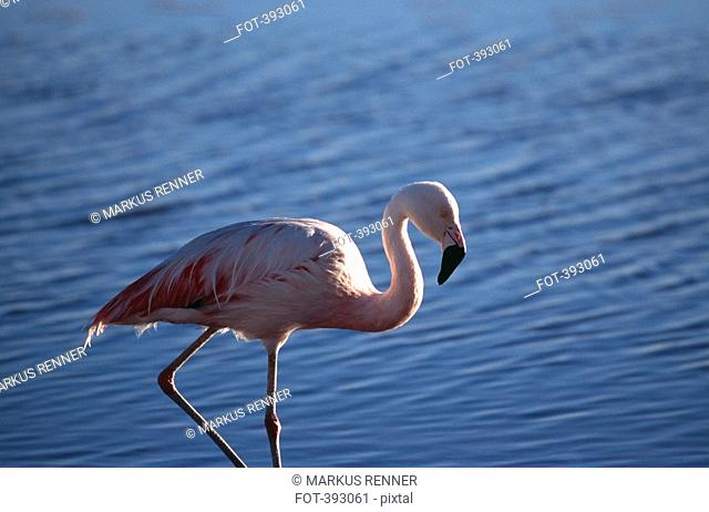 Chilean Flamingo Phoenicopterus chilensis standing in water, Laguna Lejia, Atacama Desert, Chile