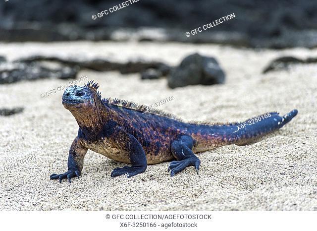 Meerechse Amblyrhynchus cristatus albemarlensis, eine endemische Art auf der Insel Isabela, Galapagos Inseln, Ecuador / Marine iguana Amblyrhynchus cristatus...