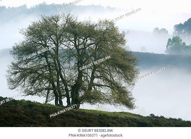 Beech Fagus sylvatica - National Park Veluwezoom, de Posbank, Veluwe, Guelders, The Netherlands, Holland, Europe