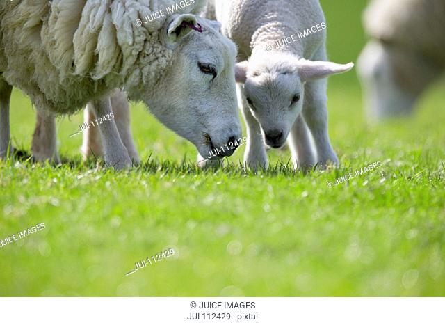 Sheep and lamb grazing in green spring grass