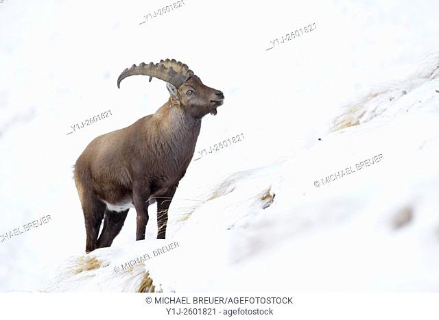 Alpine Ibex (Capra ibex), Male, Gran Paradiso National Park, Alps, Italy, Europe