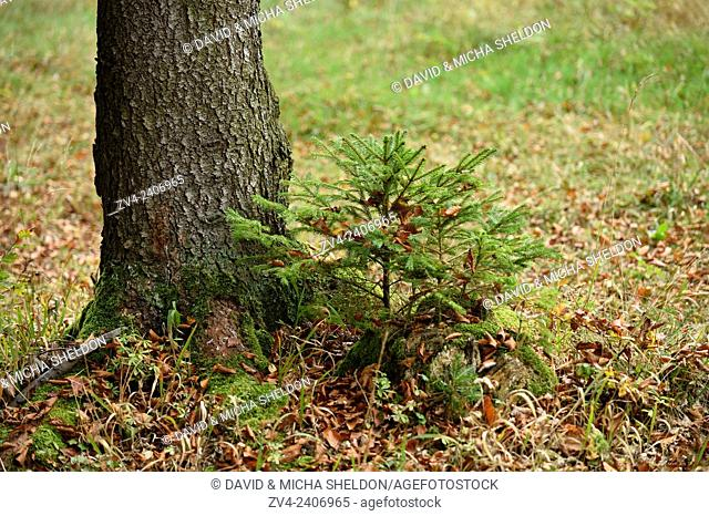 A little Norway spruce (Picea abies) tree growing in a forest in autumn