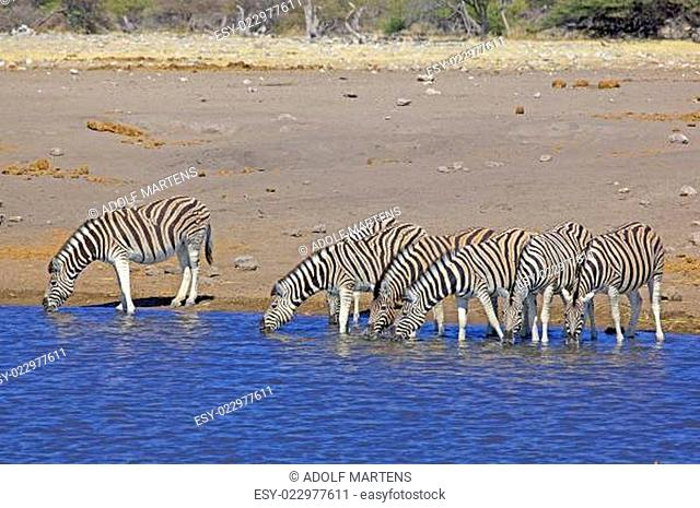 Afrika, südliches Afrika, Südwest-Afrika, Namibia, Etoscha National Park, Zebras, Steppenzebras, Equus burchellii