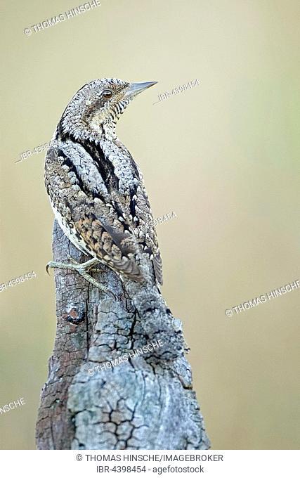 Eurasian wryneck (Jynx torquilla), Middle Elbe Biosphere Reserve, Saxony-Anhalt, Germany