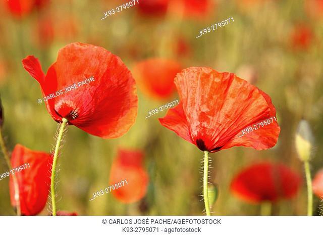 Close up of Poppies (Papaver rhoeas), Spain