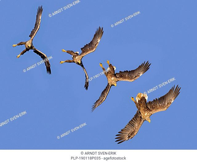 Sequence of white-tailed eagle / sea eagle / erne (Haliaeetus albicilla) in flight diving against blue sky