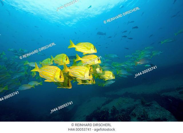 Shoal of Panamic Porkfish, Anisotremus taeniatus, Cabo Pulmo, Baja California Sur, Mexico