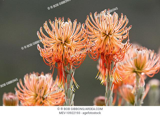 Rocket Pincushion. Cederberg Mountains, South Africa. (Leucospermum reflexum)
