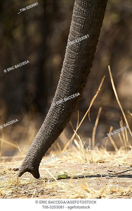 African elephant (Loxodonta africana) picking up fallen wild mangos, close up of trunk, South Luangwa National Park, Zambia