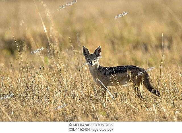 Canis mesomelas Black-backed jackal Ngorongoro conservation area Tanzania Africa
