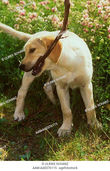 Golden Retriever Pup w/Stick playing