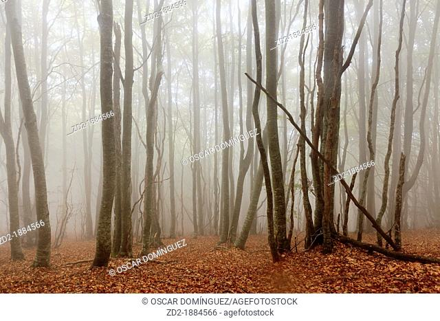 European Beech forest Fagus sylvatica with mist  Montseny Natural Park  Barcelona  Catalonia  Spain