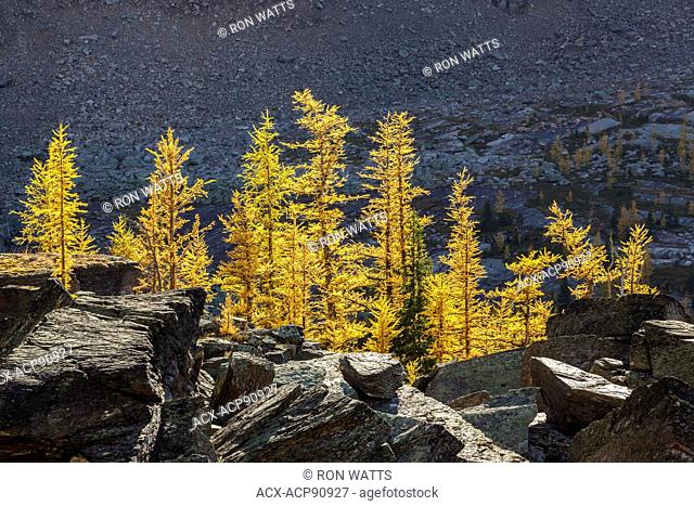 Alpine larch ( Larix lyallii) in fall color at Lake O'Hara in Yoho National Park, British Columbia Canada
