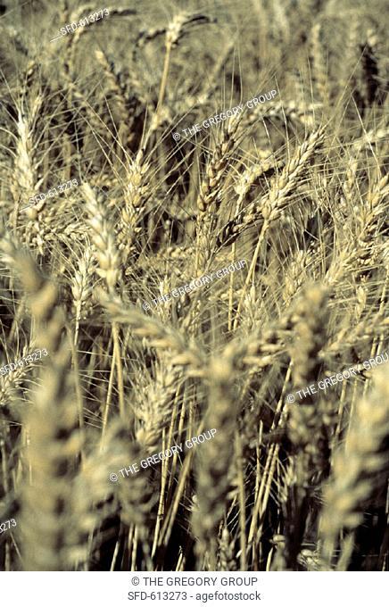 Wheat in a Wheat Field