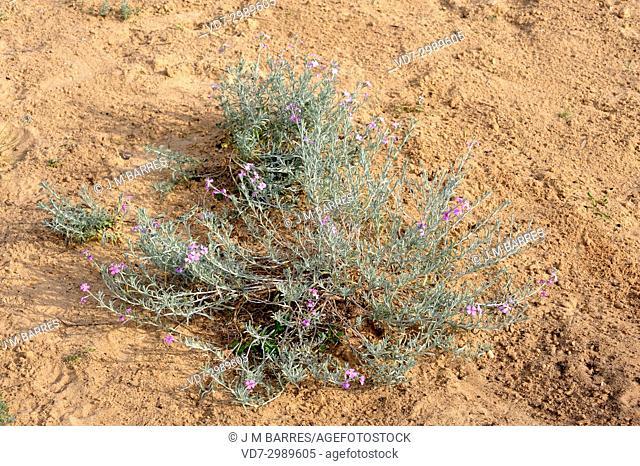 Malcolmia littorea is a perennial herb native to west Mediterranean region. This photo was taken in El Saler, Valencia province, Spain