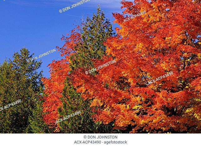 Maple woodlot in autumn, with cedar trees, M'Chigeeng, Manitoulin Island, Ontario, Canada