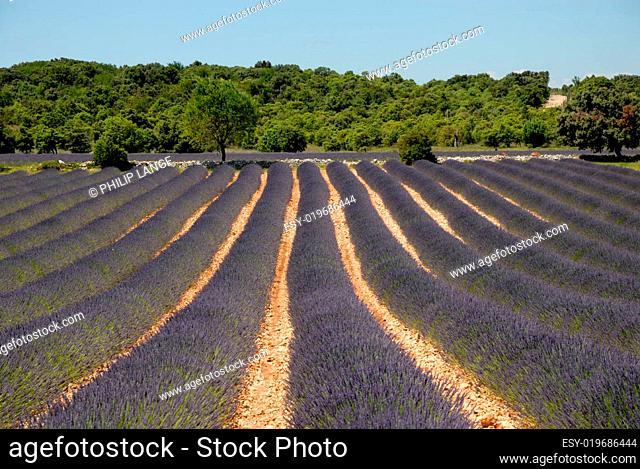 Lavendelfeld in Südfrankreich