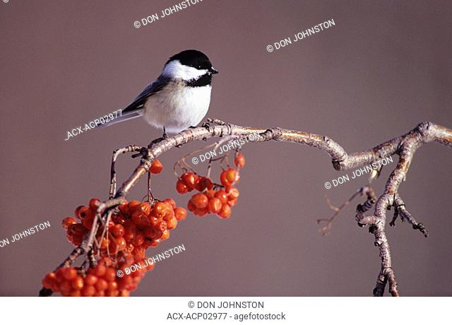 Black capped chickadee parus atricapillus roosting on black ash, walden, ontario, canada