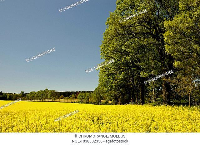 avenue of oak trees