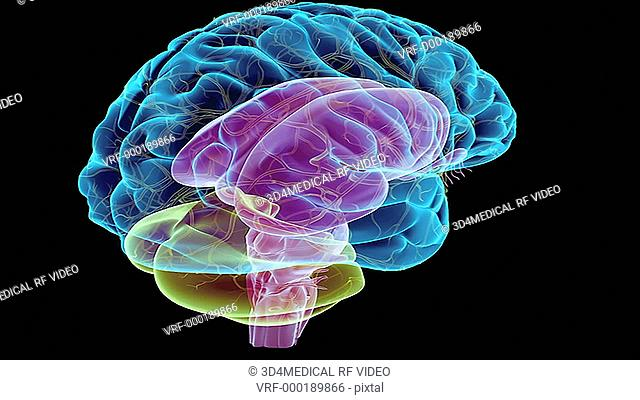 An animation of the brainstem. The camera zooms in and rotates to show an anterolateral view left side of the brainstem. The caudate nuclei and the olfactory...