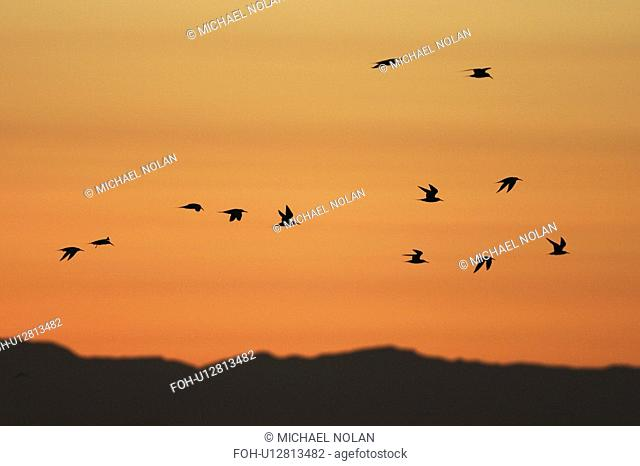 Elegant Terns flying at sunset in the Gulf of California Sea of Cortez, Mexico