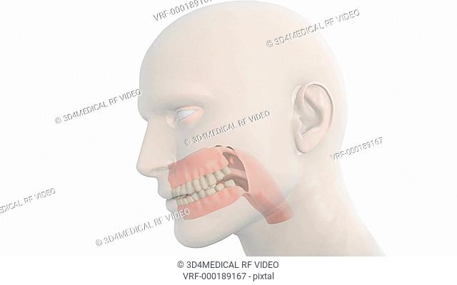 Animation depicting the pharynx, teeth, gums and tongue. The head is also visible but fades out as the camera zooms in on the pharynx, teeth, gums and tongue