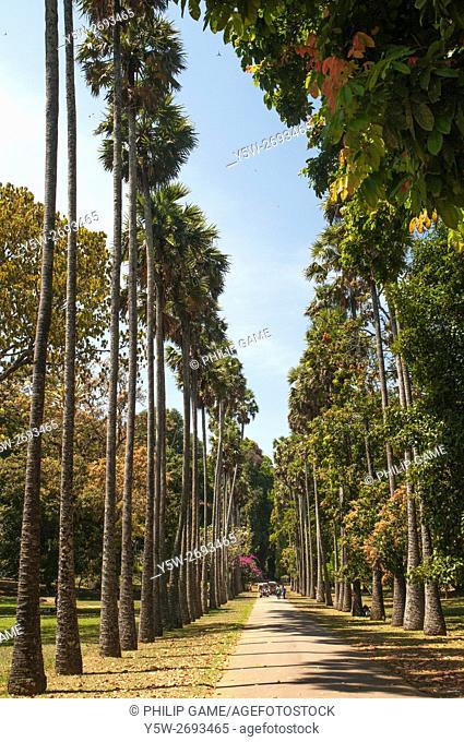 Avenue of Palmera or Borassus Palms at the Peradeniya Botanical Gardens, Sri Lanka