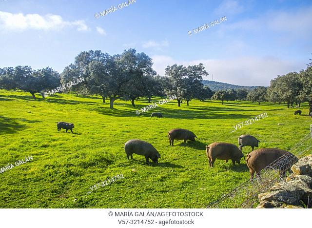 Iberian pigs in a meadow. Los Pedroches valley, Cordoba province, Andalucia, Spain