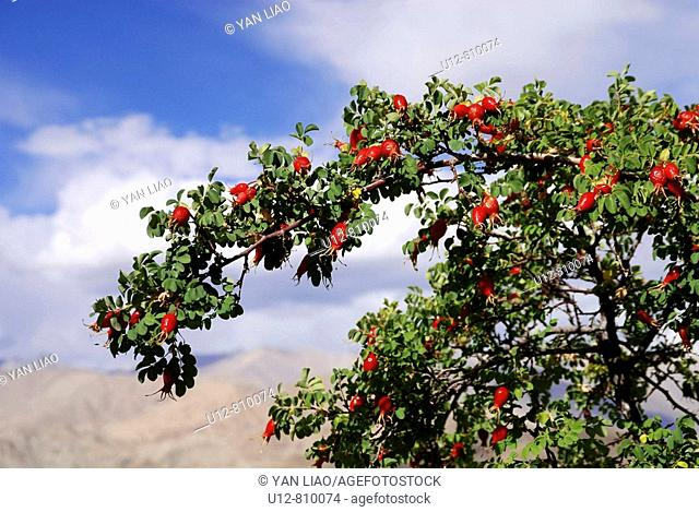 Any of various usually thorny trees or shrubs of the genus Crataegus  having clusters of white or pinkish flowers and reddish fruits containing a few one-seeded...