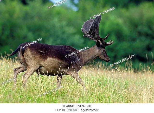 Fallow deer stag Cervus dama / Dama dama, black morph with antlers covered in velvet, Denmark