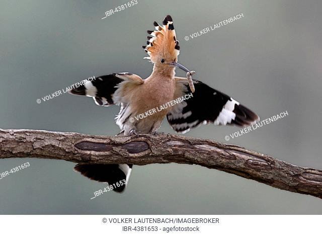 Hoopoe (Upupa epops) with worm on branch, Middle Elbe Biosphere Reserve, Saxony-Anhalt, Germany