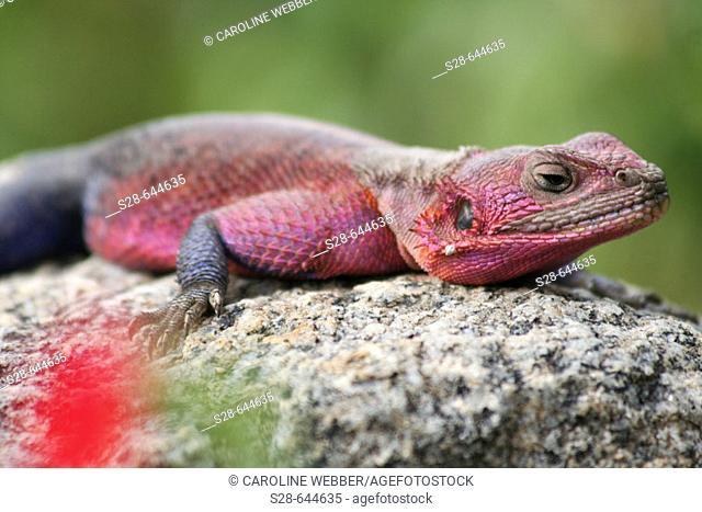 Agama Lizard in Tanzania