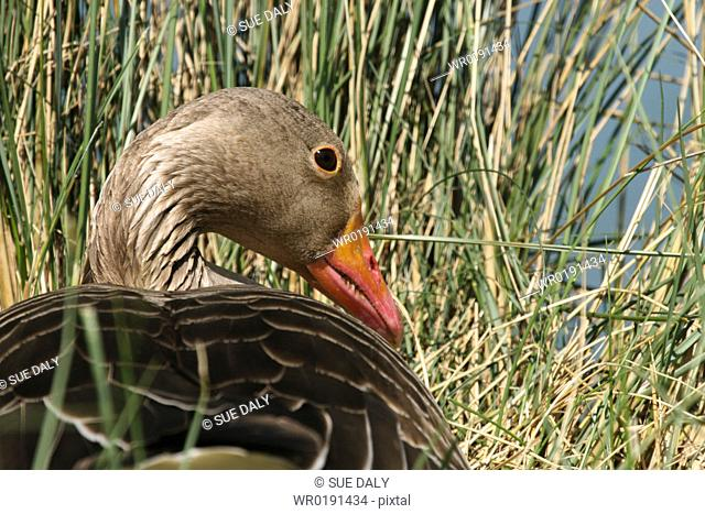 Greylag goose on nest Jersey, British Isles