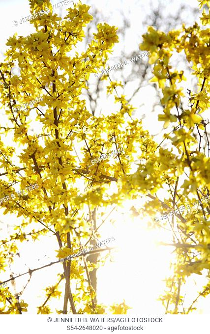 Backlit yellow Forsythia blossoms in the spring