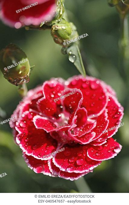 Droplets on carnation flowers. Dianthus sp