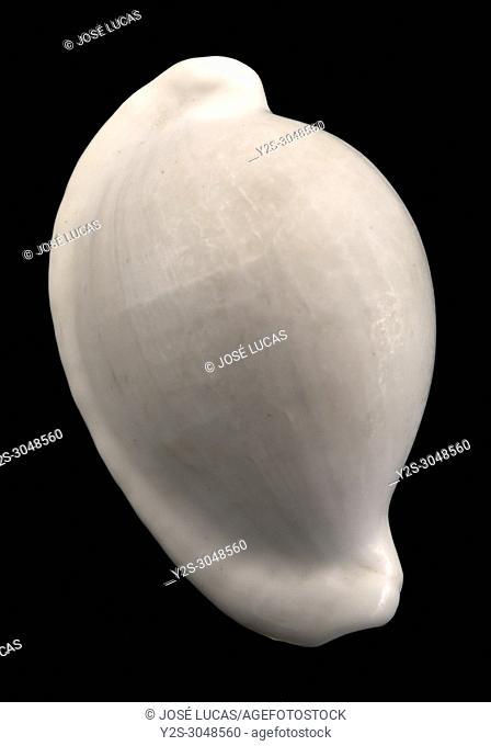Seashell of Egg cowry (Ovula ovum), Malacology collection, Spain, Europe
