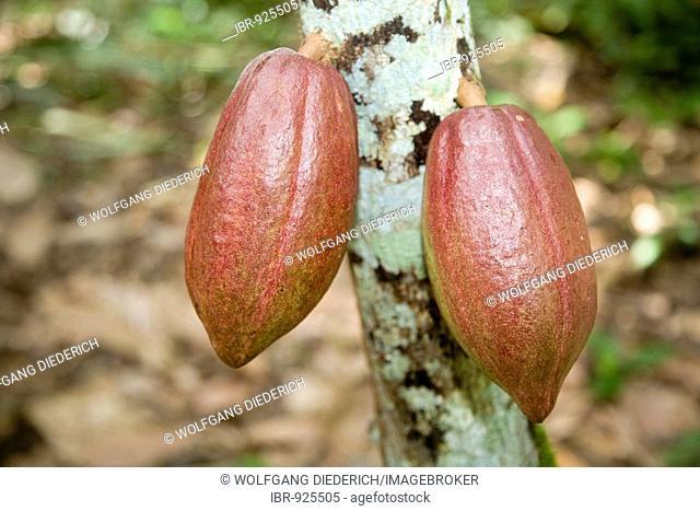 Unripe cocoa fruit, pods, on a cacao tree, cocoa plantation, Hacienda Bukare, cocoa cultivation and processing, Chacaracual, Rio Caribe, Sucre, Venezuela