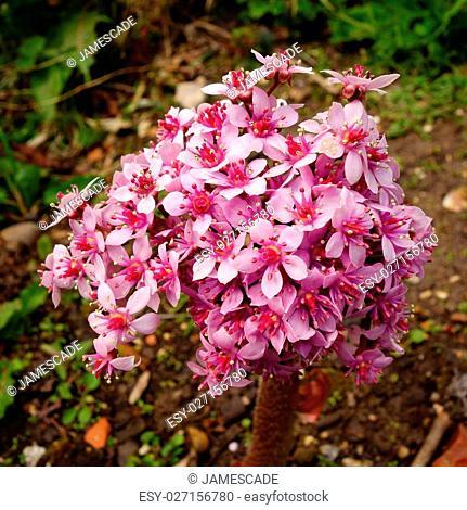 Pink and white flowers of darmera peltata (Indian rhubarb / umbrella plant)