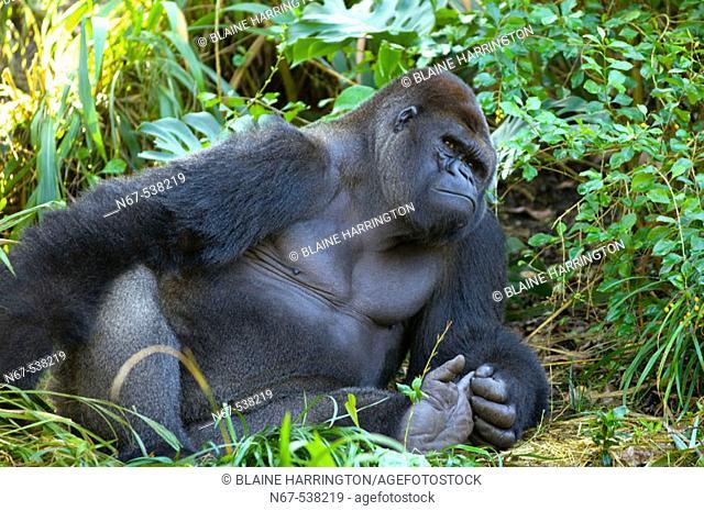 Gorilla, Pangani Forest Exploration, Disney's Animal Kingdom, Walt Disney World, Florida