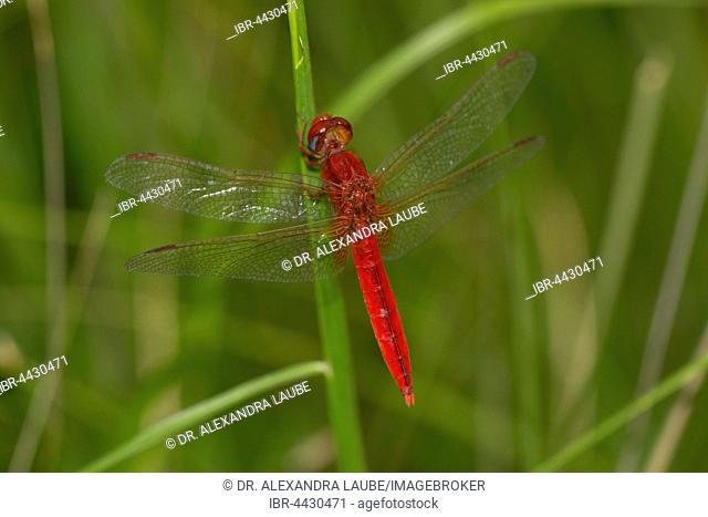 Red Dragonfly (Odonata) on straw in the rice field, Central Highlands, Madagascar