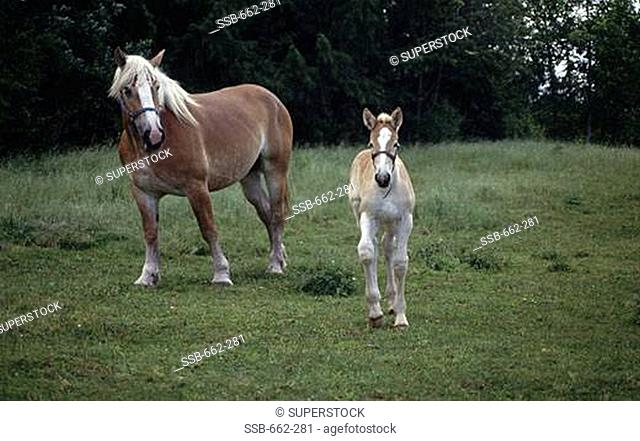 Mare and a foal in a field