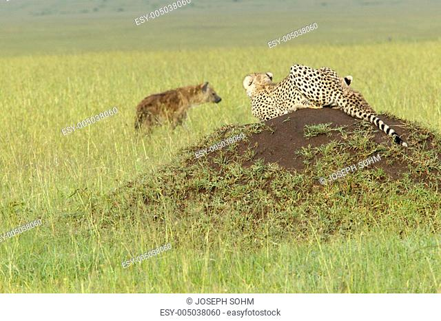 Cheetah stalking Spotted Hyena walking through high grasslands of Masai Mara near Little Governors camp in Kenya, Africa