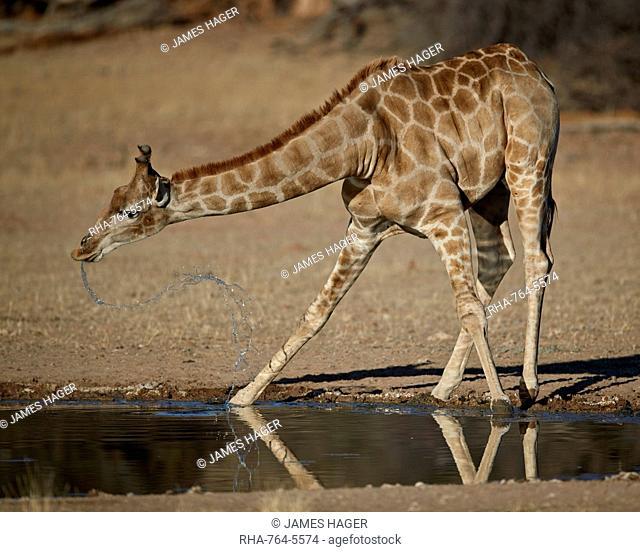 Cape giraffe (Giraffa camelopardalis giraffa) drinking, Kgalagadi Transfrontier Park, encompassing the former Kalahari Gemsbok National Park, South Africa